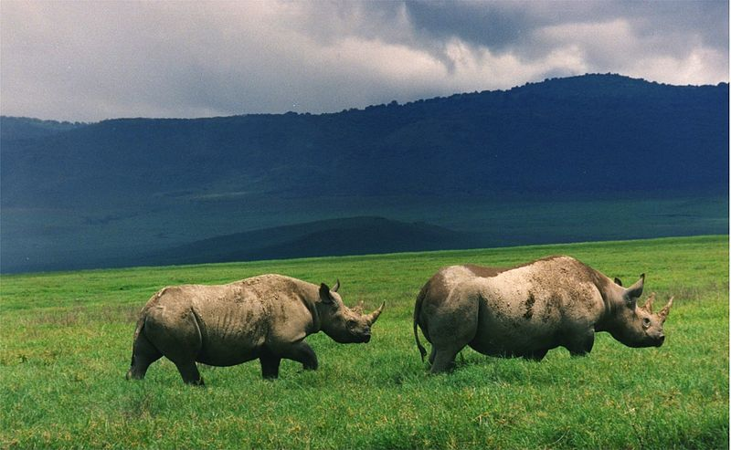 Rhinos Grazing in South Africa